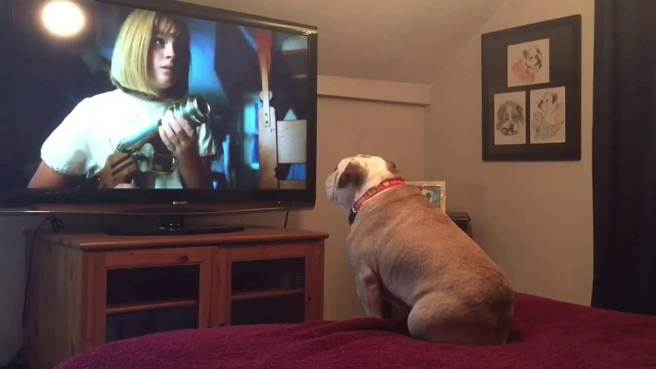 Shorts: Khaleesi the Bulldog watches Horror Movies